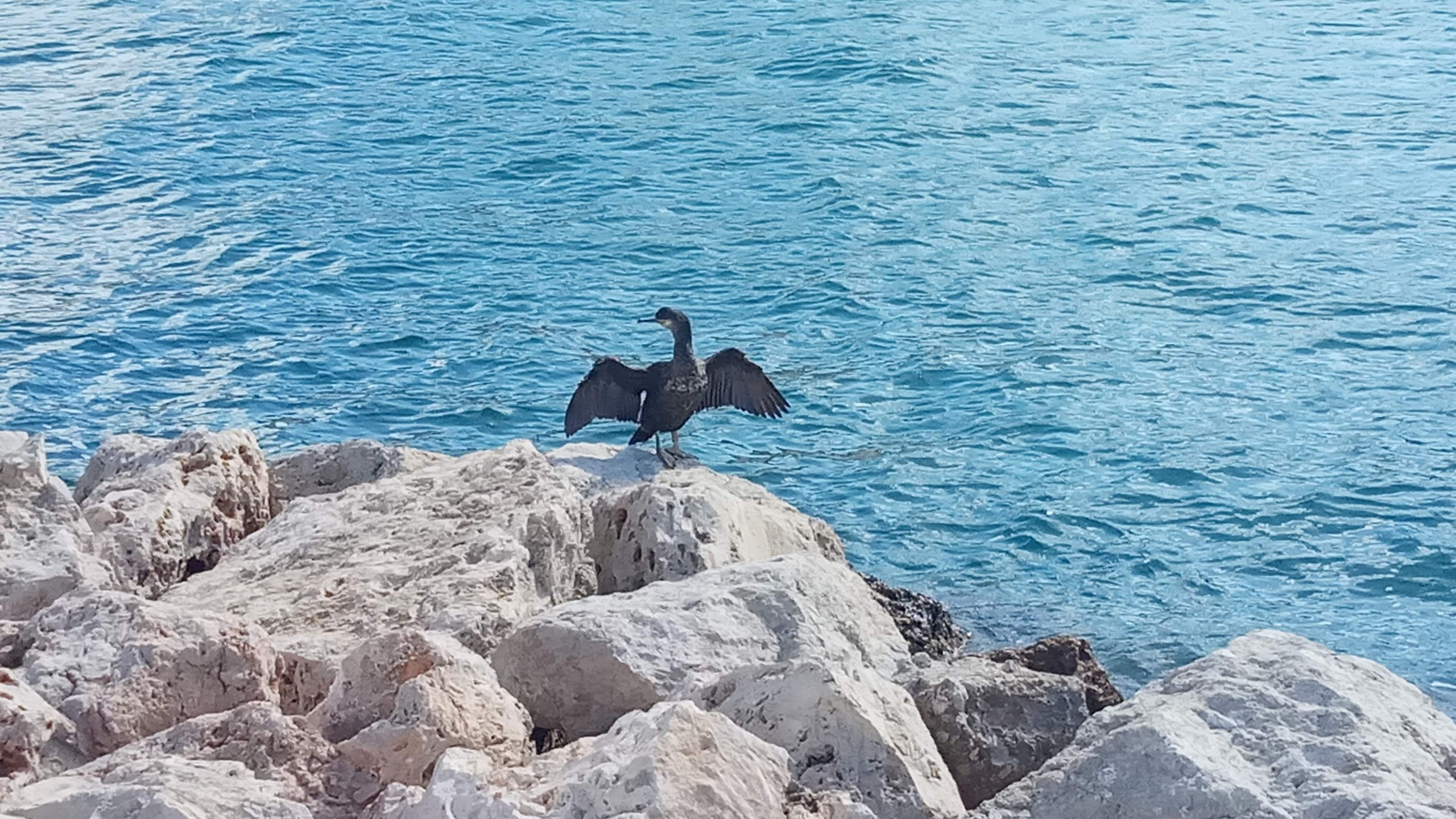 Cormorán de vacaciones en Ibiza